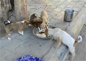 street dogs in ahmedabad